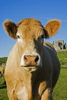 Charolais Cattle, Rock Of Cashel, Cashel Town, Cou