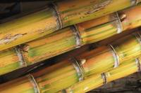 Close-Up Detail Of Mature Sugar Cane Stalks