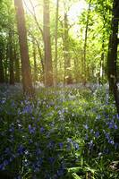 Bluebells Growing On A Forest Floor Northumberlan