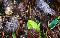 Frozen Oak Leaves, Glenveagh National Park, County