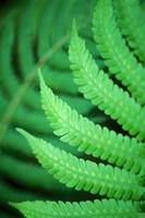 Fern, Close-Up Of Patterns In Green Leaf