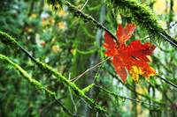 Maple Leaf Suspended In Mossy Branches