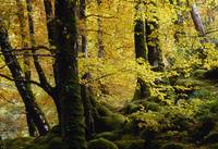 Beech Trees in Autumn, Glenveagh National Park, Co
