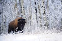 Bison In The Snow, Elk Island National Park, Alber