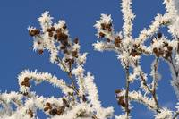 Hoar frost adorns Alder branches following an exte