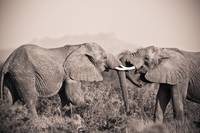 Two Elephants With Their Trunks Touching Samburu,