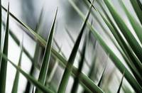 Yucca Plant, Abstract Of Thin Overlapping Leaves
