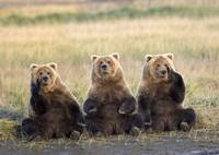 Three grizzlies sitting in meadow scratching faces
