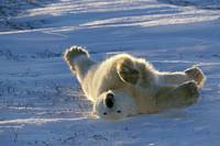 Polar Bear Lying in Snow Canada Spring Wapusk NP