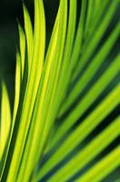 Hawaii, Close-Up Of Sunlit Areca Palm Frond