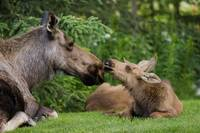 Cow Moose and Calves Laying On Lawn In Anchorage,