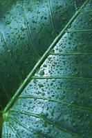 Water Drops On Elephant Ear Leaf