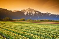 Tulip Fields, British Columbia, Canada