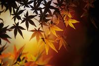 Japan, Kyoto, Colorful Japanese Maple Leaves In Au
