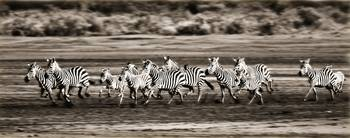 Running Zebras, Serengeti National Park, Tanzania,
