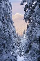 Winter scenic of snow covered spruce trees and Chu