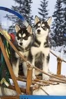 Two Siberian Husky puppies sitting in dog sled in