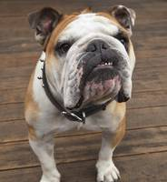 Purebred English Bulldog Pacifica, California, US