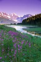 Fireweed in Bloom Along Pond w/Chugach Mtns SC AK