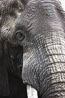 Portrait Of African Bull Elephant