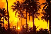 Palm Trees Silhouetted In Bright Orange Sky, Sunse