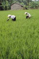 Two Farmers In Rice Paddy, Vietnam