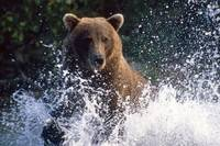 Charging Grizzly splashing through water