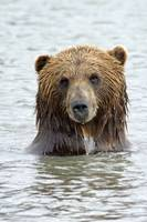 Brown bear standing in lake with only head and sho