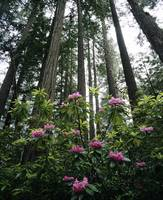 California, Rhododendrons And Coast Redwoods In Fo