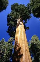 California, Giant Sequoia Tree National Park, View