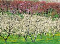 Orchard, Spring Blooms, Osoyoos, British Columbia,