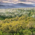 """""""Orchards In Spring Bloom, Kelowna British Columbia"""" by DesignPics"""