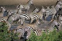 Zebras At Waterhole, Serengeti National Park, Tanz