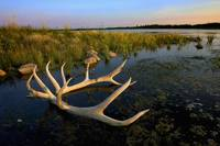 An Elk's Horns Lay In The Water At Astotin Lake