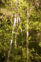 Reflection of birch trees on a wind rippled pond,