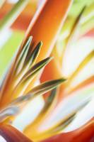 Abstract Close-Up View Of Heliconia