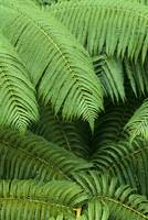 Hawaii, Close-Up Detail Of Hapuu Ferns