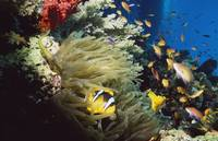 Red Sea Anemone Fish