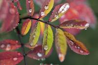 Dew On Wild Rose Leaves In Fall, Kananaskis Countr