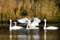 Flock of Tundra swans on small pond Southcentral A