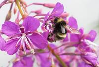Macro view of a bee on a Fireweed blossom, summer,