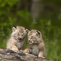 Two Canada Lynx Kittens Playing On A Log Canmore,