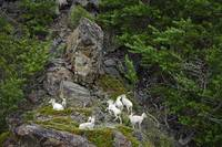 Aerial view of a small group of Dall Sheep on a ro
