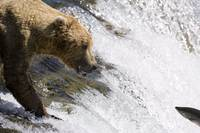 Grizzly at Brooks Falls catching salmon, Katmai Na