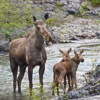 Sow Moose And Calves At Waterton National Park Al