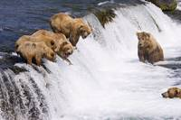 Grizzly Bears Fishing At Brooks Falls, Katmai Nati