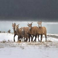 Mountain Sheep Family Nordegg, Alberta, Canada