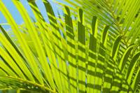 Close-Up Detail Of Light Green Palm Leaves