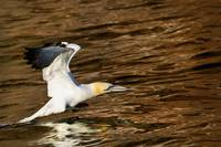 Gannet Flying Away From Water Level Perce, Quebec