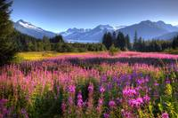 Scenic view of Mendenhall Glacier and Fireweed in